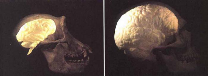mozg-szympansa-czlowieka