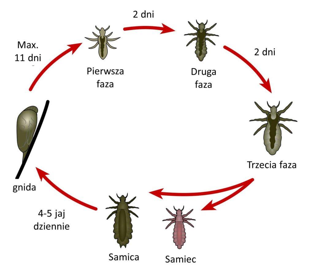 cykl rozwojowy wszy larwy gnidy