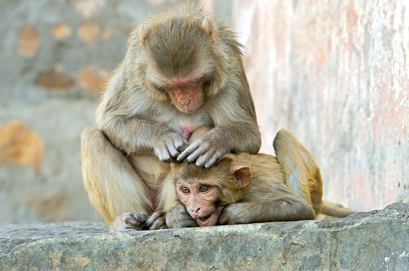 jak pozbyć się wesz iskanie małp