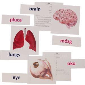 bity inteligencji narządy wewnętrzne człowieka metoda Domana drCzerska