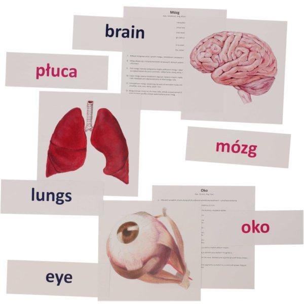 bity inteligencji narządy wewnętrzne człowieka metoda Domana dr Czerska